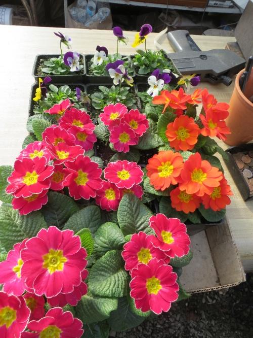 primroses and violas