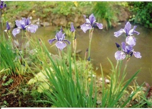 Iris by the pond, 1995