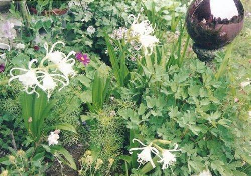 Ismene in my garden at Shakti Cove