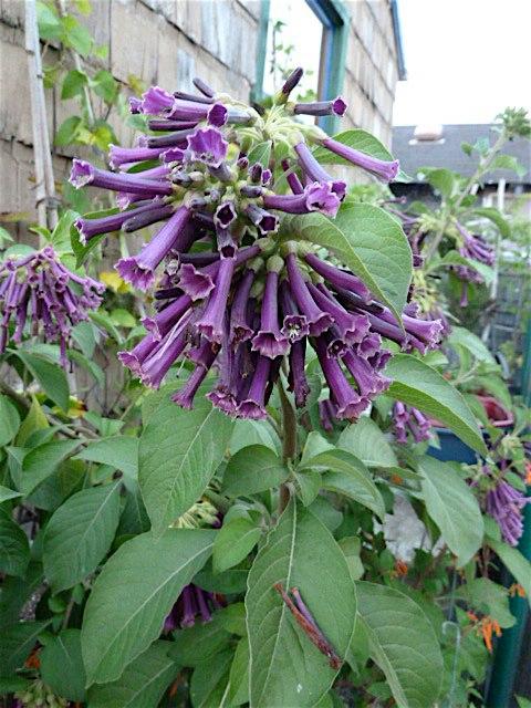 8 October, Lochroma (Violet Tubeflower)