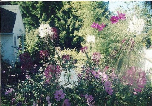 Bryan's garden in late summer, with Cleome and Cosmos