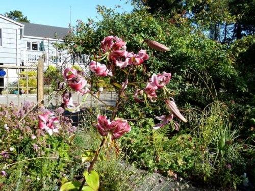 lily speciosum rubrum