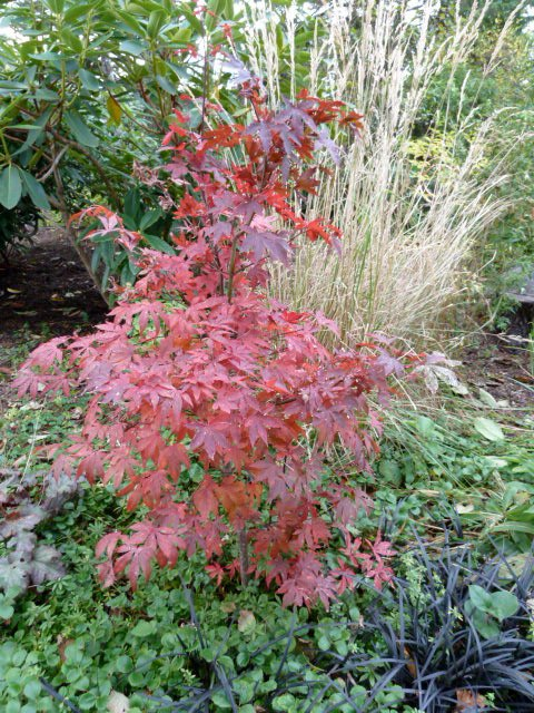 Japanese maple at the A Frame