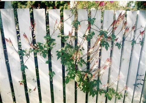 Mina lobata on Bryan's fence