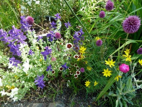 Coreopsis 'Jive' with Allium and painted sage