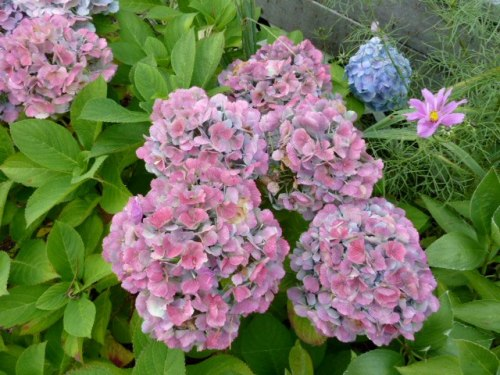 mophead hydrangeas in the A Frame garden