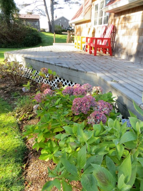 hydrangeas and the A Frame deck