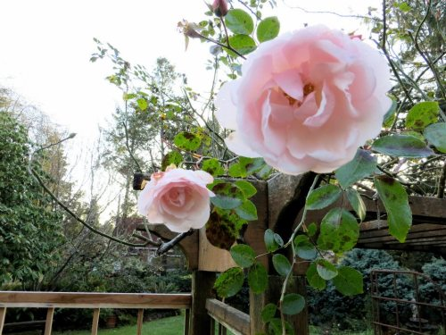 Rose 'New Dawn'