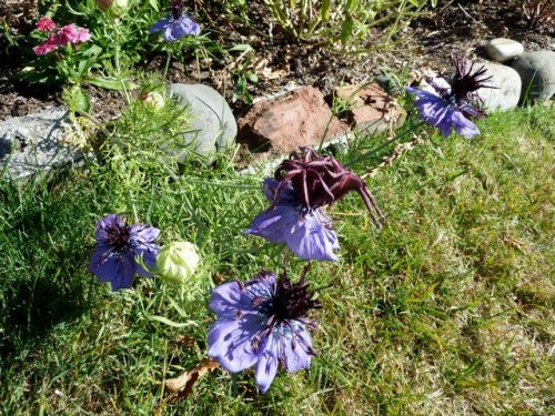 Nigella (Love in a Mist), 5 Sept