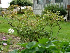 old blueberry bush which revived with dairy manure mulch