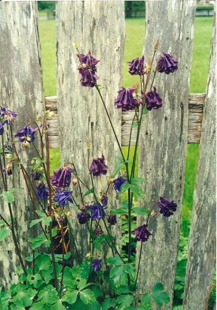 iconic Oysterville picket fence with Columbine