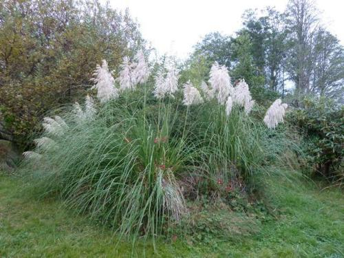 Pampas grass and roses