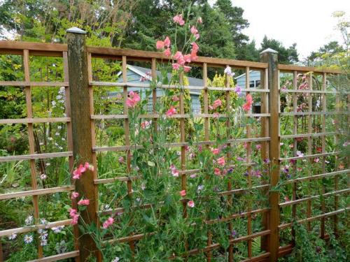 sweet peas on the deer fence