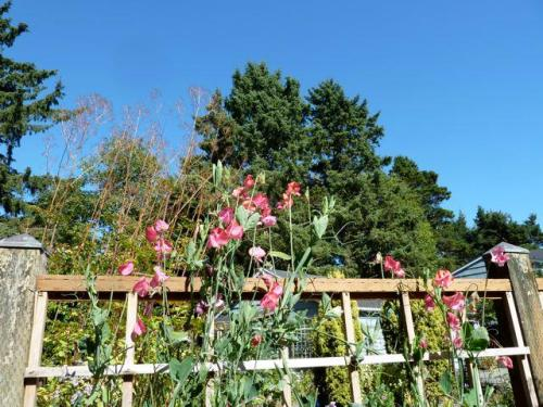 sweet peas and endlessly blue sky
