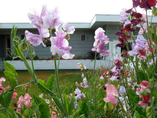 sweet peas in August