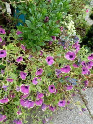 Petunia 'Pretty Much Picasso' in center of fenced garden