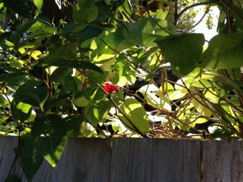 honeysuckle berries on front fence