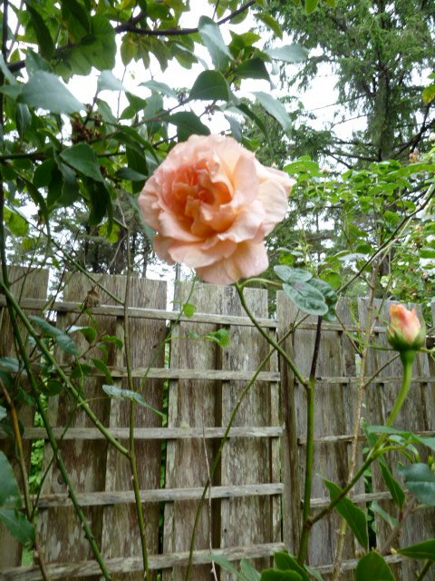 'Polka' rose