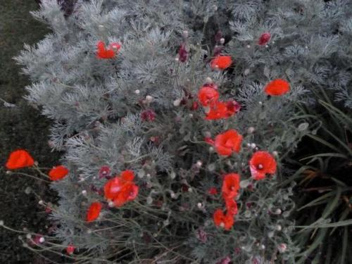 annual poppies and Artemisia 'Powis Castle'