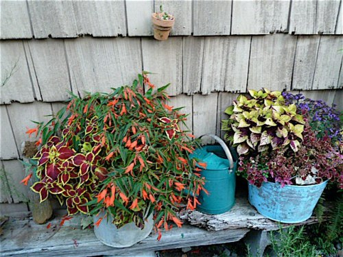 8 October by Allan's shed; plants from The Basket Case Greenhouse