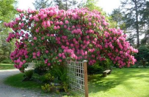 the biggest rhodo by the pond