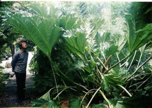 Robert with Gunnera
