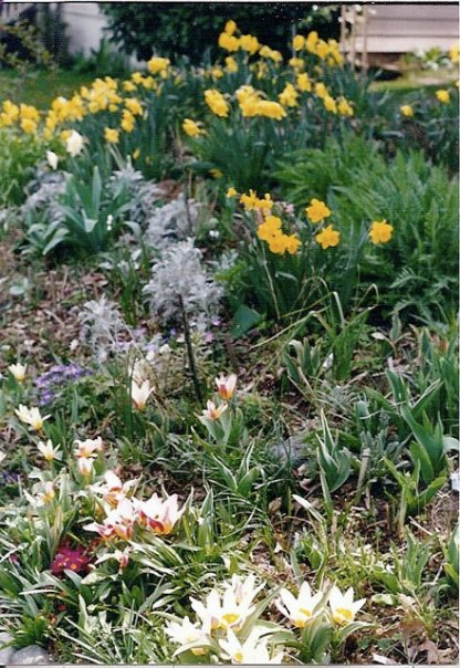 rockery with species tulips and Narcissi in March