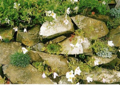 Oenothera, Sedums, Dianthus