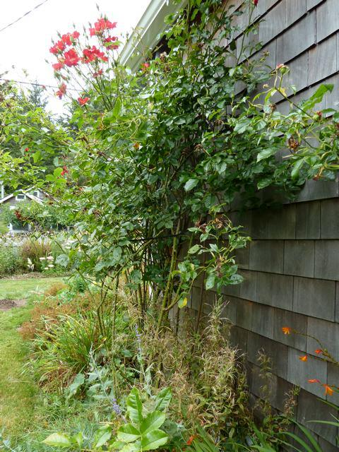 an old climbing rose on the garage