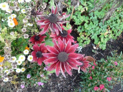 8 October, Rudbeckia (maybe 'Cherry Red')