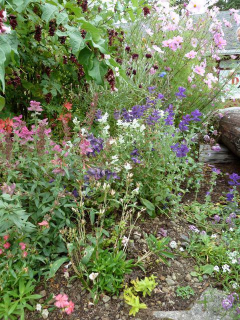 21 September, Salvia viridis (painted sage) overhung with Leycesteria formosa