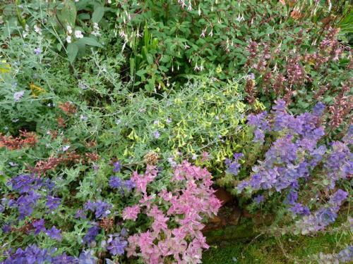 front garden, Salvia viridis, 14 Sept