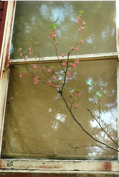 flowering currant by the lodge window