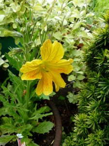 Salpiglossis with Helichrysym 'Limelight' and golden yew