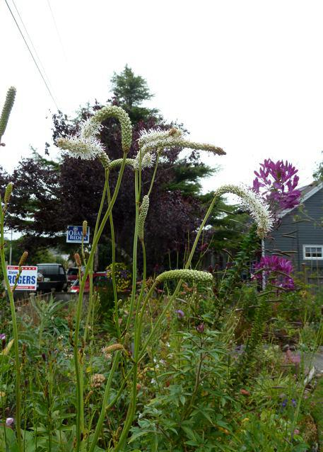 white sanguisorba, 14 Sept
