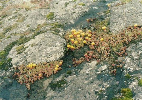 sedums on the North Head cliff