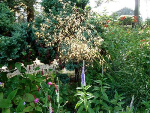 Stipa gigantea, our favourite ornamental grass