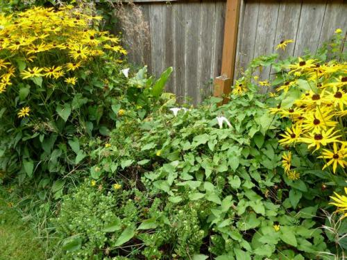 Black Eyed Susans and the dreaded bindweed
