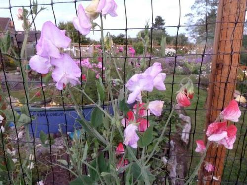 sweet peas in back garden