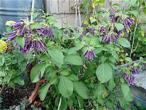 8 October, Lochroma (Violet Tubeflower), a cool plant from Back Alley Gardens in Gearhart.   Might make it in the cold greenhouse!