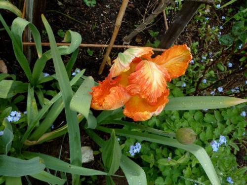 tulip 4-28