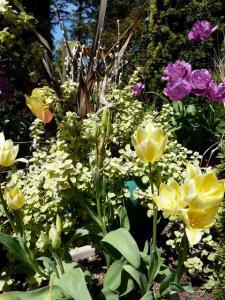 sunshiny tulips