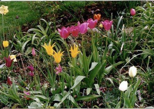 tulips, April 1990