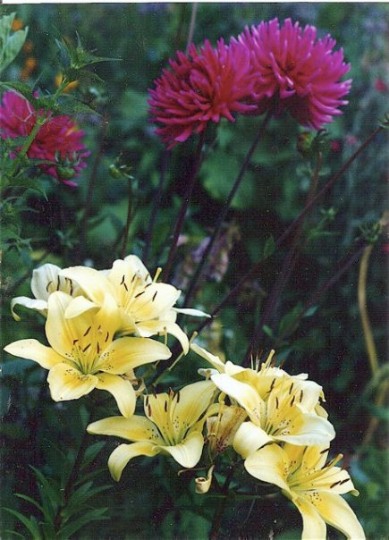 dahlias and lilies