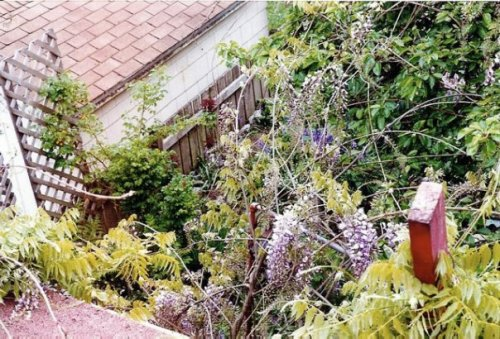 Wisteria in May from the back roof