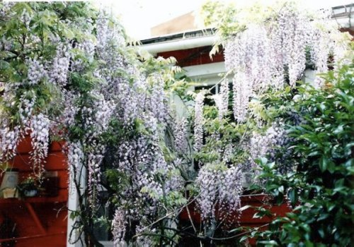 Wisteria in May 88