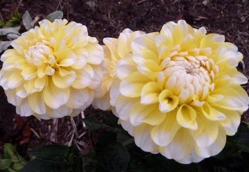 yellow and white dahlia