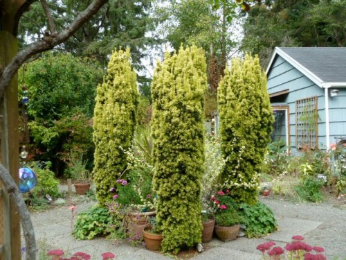 golden yews at center of fenced garden