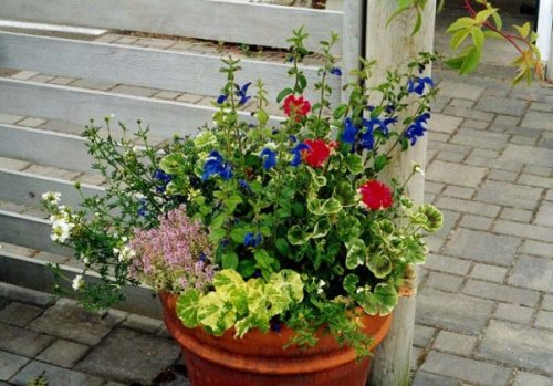 container with Salvia patens