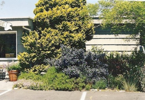 Anchorage office garden with Ceanothus in bloom.  It is three times that size now!